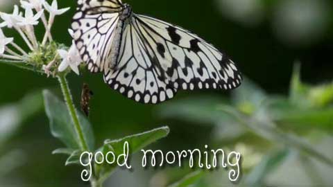Good Morning Status With Butterfly And Flowers Images Wishes